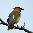Cedar Waxwing by WonderlandGlass