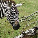 Zoo mates - Zebra by TxGimGim