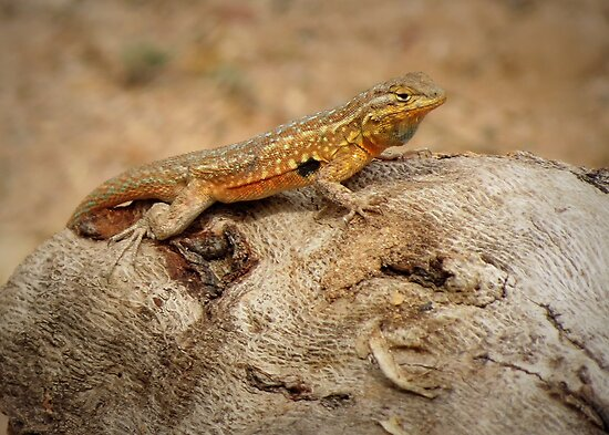 Common Side-blotched Lizard (Male) by Kimberly Chadwick