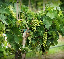 Fruit on the Vine by Lucinda Walter
