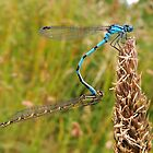 Blue Damselfly 05 by Magic-Moments