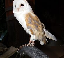 Barn Owl by Baron Guibal J P Dip