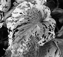 Big Leaf in Mono by Helen Robinson