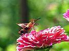 Hummingbird Moth by Susan S. Kline