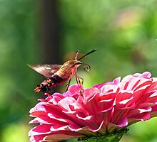 Hummingbird Moth by Susan S. Kline