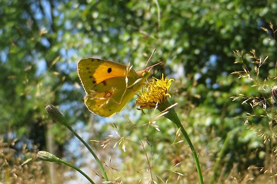 The Clouded Yellow by ienemien