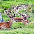 Red Deer by M.S. Photography/Art