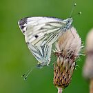 Green Veined White Butterflies Mating by Margaret S Sweeny