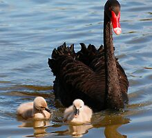 Swan Family by jwwallace