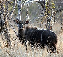 Nyala Bull by Antionette