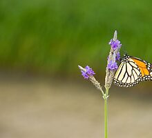Butterfly on Lavender by ValeriesGallery