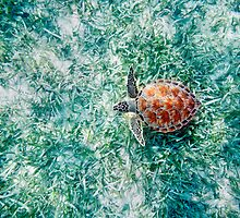 Green Sea Turtle from Above by printscapes