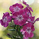 Tall Garden Phlox by T.J. Martin
