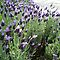 *Lavender Garden-Feature Page - Gorgeous Flower Cards*