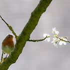 Robin Redbreast by Ian Tilly