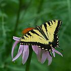 Eastern Tiger Swallowtail by DavidHintz
