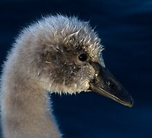 Cygnet Portrait by Robyn Carter
