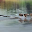 Mallard Morning by KatMagic Photography