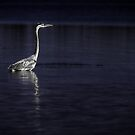 Great Blue Heron 2 by photonista