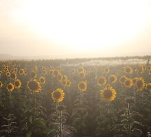 Sunflower field by kmoz11