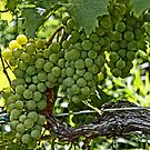 Wine Grapes by djphoto