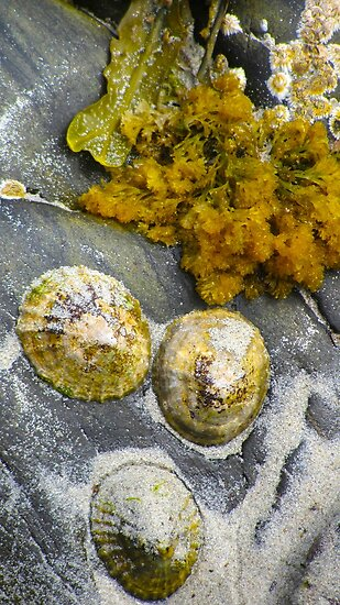 Limpets by Claudia Dingle