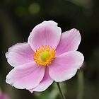 Pink Cosmos by Vicki Spindler (VHS Photography)