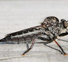 Insect that devours flys by karencadmanfoto