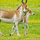 Kiang and foal by M.S. Photography/Art