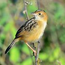 Golden Headed Cisticola taken at Foggs Dam near Darwin by Alwyn Simple