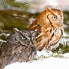 Two Screech Owls by printscapes