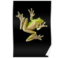 White Lipped Green Tree Frog Poster