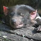 Tasmanian Devil by Leanne Allen