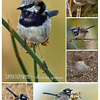 Superb fairywrens by Barb Leopold