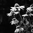 Coneflowers in Black and White by Linda  Makiej