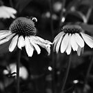Black and White Coneflowers by Linda  Makiej