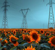 Sunflower Power by Larry Trupp