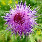 Bull Thistle by Kathleen M. Daley