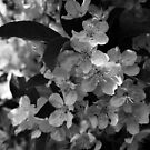Black and White Blossoms by Linda  Makiej