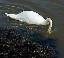 Salty Sea Swan by VoluntaryRanger