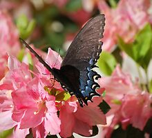 Butterfly on Azalea by Scott Whitehead