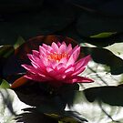 Water Lily by Loree McComb