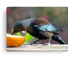 Tui - this is all mine........! Canvas Print