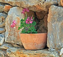 Greek Geranium by DRWilliams