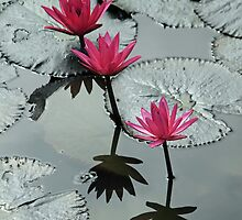 Krabi Water Lilies by DRWilliams