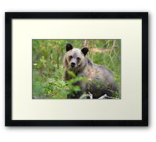 Grizzly Bear Cub Making Eye Contact Framed Print