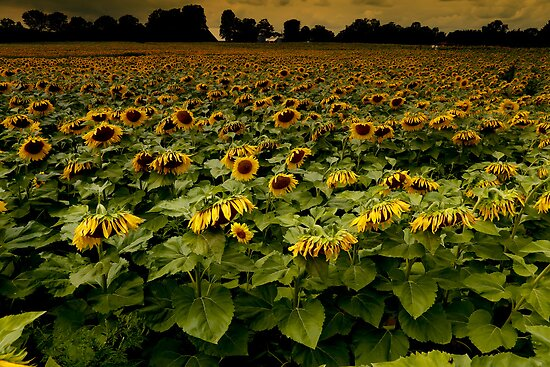 Sunflower Nation by Rebecca Reist