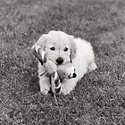 Golden Retriever puppy and toy by Richard Alton