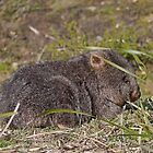 Young Wombat, Mt William National Park, Tasmania, Australia by Margaret  Hyde