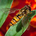 Hoverfly by DonDavisUK